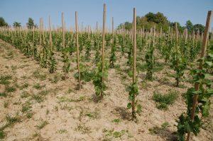 sadzonki winorośli w pierwszym roku