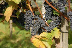 winogrona przed zbiorem