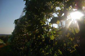 winnica w słońcu