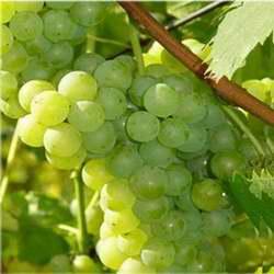 winogrona jutrzenka