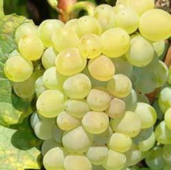 winogrona kristaly