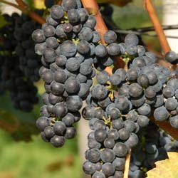winogrona leon millot