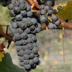 winogrona marechal foch