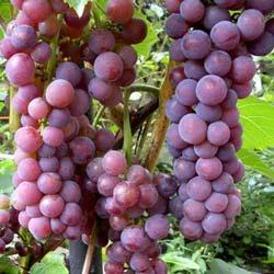 winogrona sewnson red
